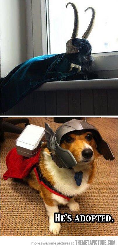 #Thor Corgi and #Loki Cat: Cat, Dogs, Funny Pictures, Loki Thor, Pet, Costume, Thor Loki, Animal, The Avengers