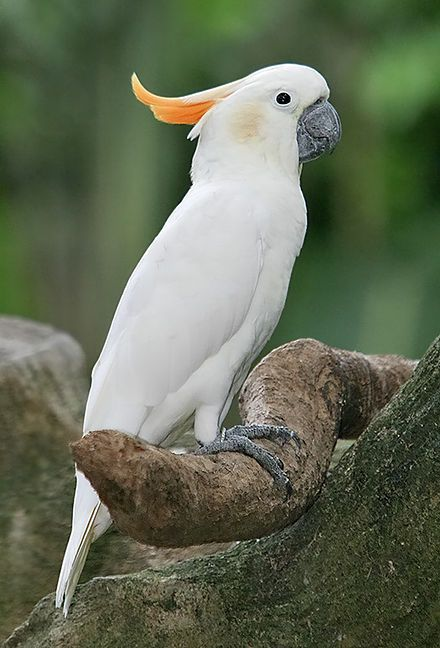 Citron-crested Cockatoo, Indonesia - The citron-crested cockatoo is an endangered bird whose population has declined due to habitat loss and illegal trapping for the cage-bird trade.  - Wikipedia