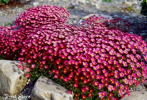 Would love to get this for my rock wall.  Saxifraga-ground cover for shade