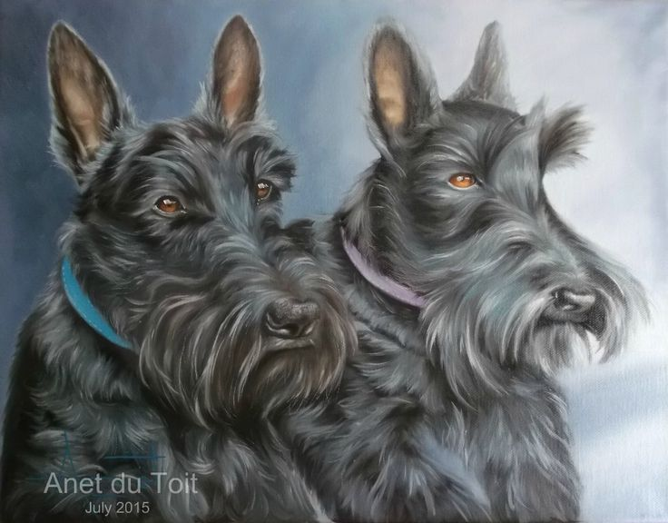 Scottish Terriers Oil on canvas 45cm x 35cm Commissioned / SOLD
