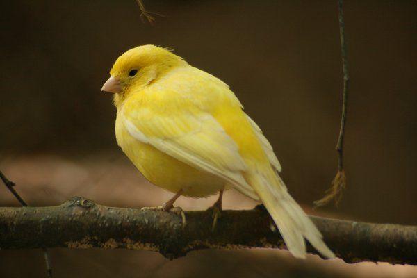 yellow canary bird - gelber Kanarienvogel by Nexu4.deviantart.com on @deviantART