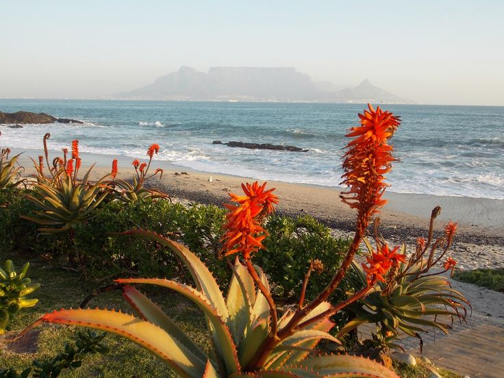 Aloes in bloom Bloubergstrand Cape Town