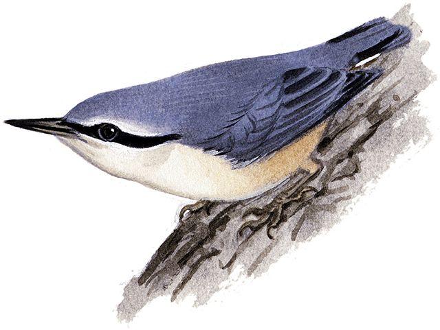 ゴジュウカラ|日本の鳥百科|サントリーの愛鳥活動