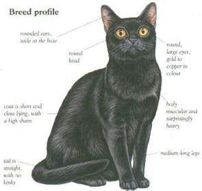 Breed profile :bombay cat makes Doomy seem like she is Bombay. :o)