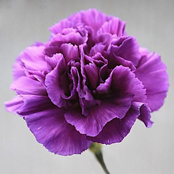 Rare Heirloom Zi Zun Purple Carnation Annual Flowers 50 Seeds Light Fragrant Mother Flowers E3700 With Images Purple Carnations Carnation Flower Most Popular Flowers