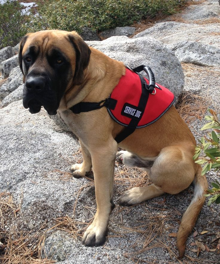 Meet Titan ~ an awesome Mastiff service dog