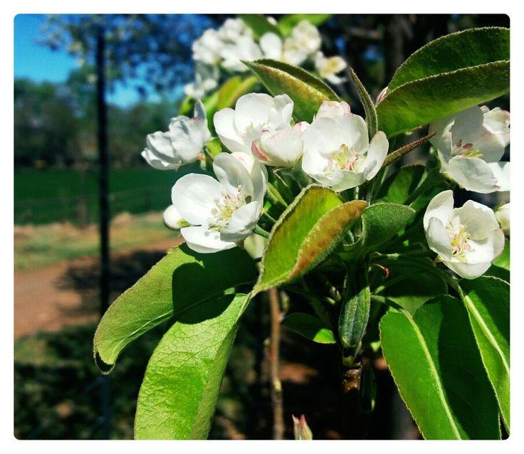 Appelbloeisels