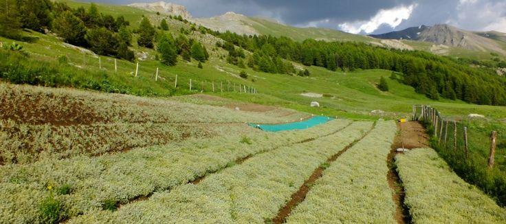 Accueil - Fleur Alpine