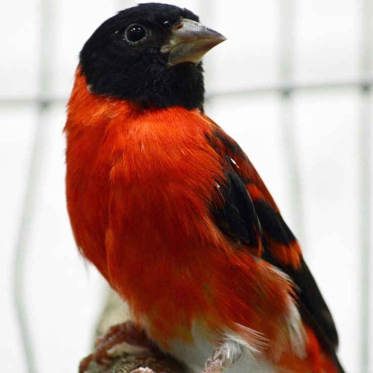 The red siskin is endangered largely due to the pet trade and habitat loss. Animal keepers at the Smithsonian Conservation Biology Institute are creating a breeding program for red siskins and will eventually reintroduce them to the wild.   In the meantime, they are learning all they can about the species. That ranges from developing the best diet to caring for chicks.   SCBI is part of the Red Siskin Initiative, which is an international partnership and includes