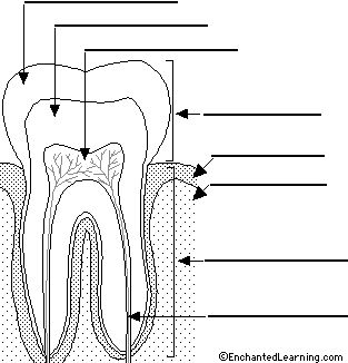 Empty tooth diagram residential electrical symbols 19 best tooth teeth activities images on pinterest dental dental rh pinterest com adult tooth diagram tooth diagram unlabeled ccuart Gallery