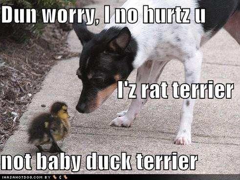 """Dun worry I no hurtz u... I'z Rat Terrier... not Baby Duck Terrier."" ~ Dog Shaming shame, Rat terrier not a hunter. :)"