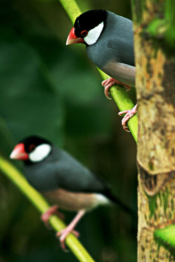 Java Finches by Leans