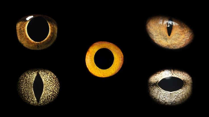 A new study shows how animal's pupils have evolved to help them survive in their ecological niche as predator or prey.
