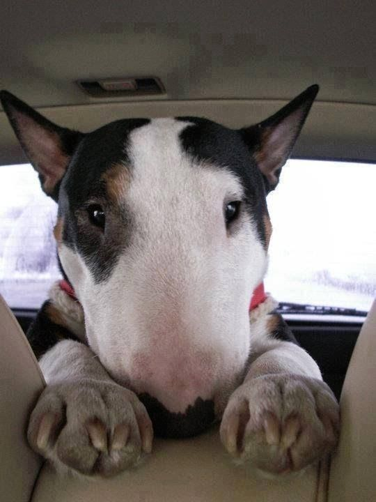 Bull Terrier - I like starring contests