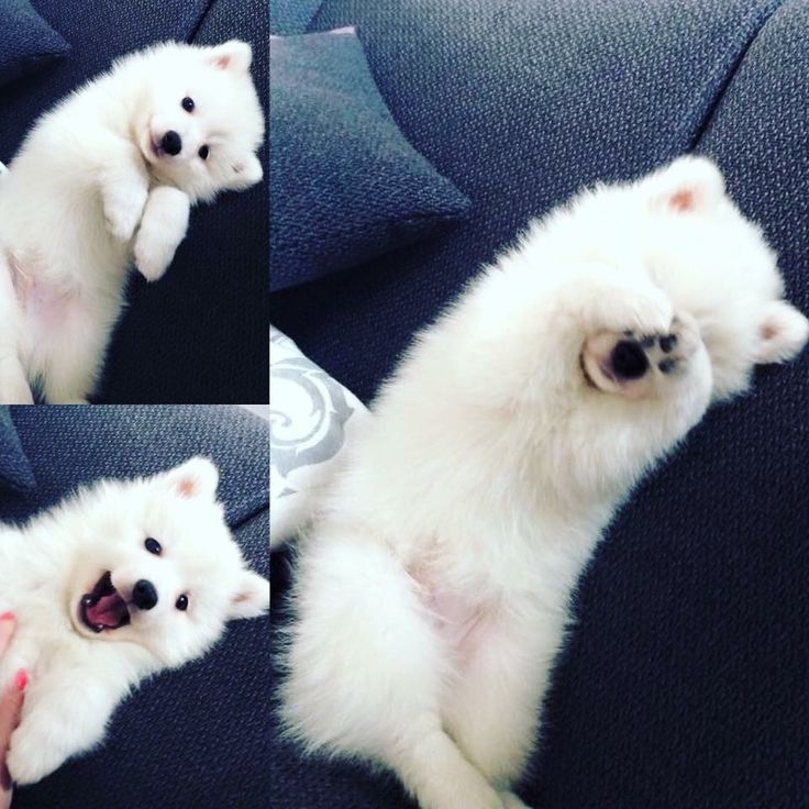 Love love love Japanse Spitz/spits #Dog #Cute Puppy
