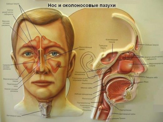 У взрослого человека в 4-х придаточных пазухах носа накапливается от 1 до 2-х стаканов гноя и воздухоносные кости (2 лобные и 2 верхнечелюстные) становятся вместилищем ядовитых продуктов, вместо того, чтобы быть носителями легких ионов воздуха, питающих мозг. Всасываясь из придаточных пазух носа в мозг, где расположен дыхательный центр, гнойные токсины поддерживают нейрогуморальный механизм патологического процесса. […]