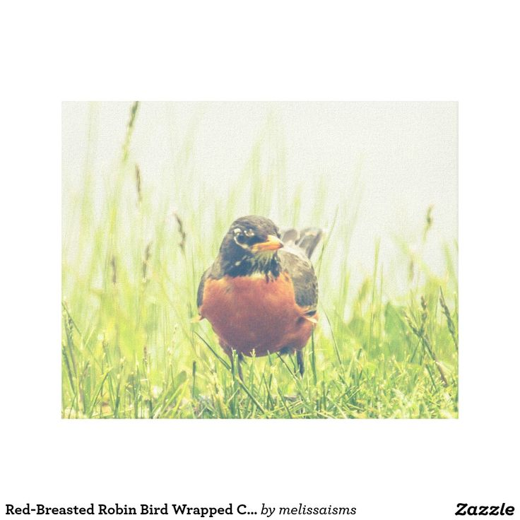 Red-Breasted Robin Bird Wrapped Canvas