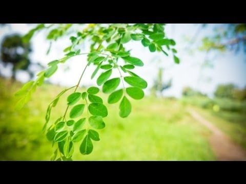 Moringa seeds purify water. Using natural materials to clarify water is a technique that has been practiced for centuries and of all the materials that have been used, seeds of moringa tree have been found to be one of the most effective.