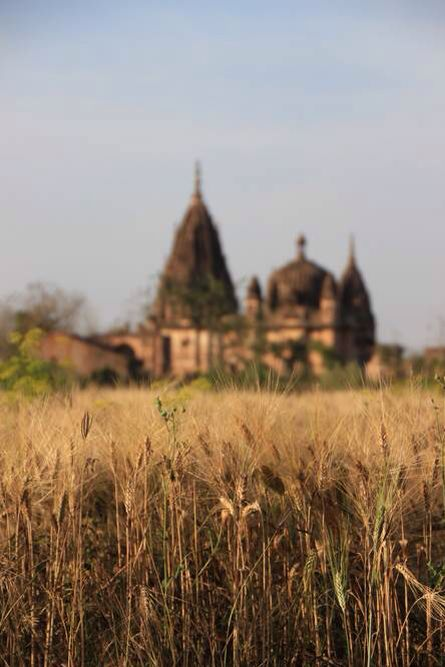 Wheat fields in the village of Orchha. Stunning place, well worth a visit on the way to Khajuraho! #travel #india #orchha #wheat #nature