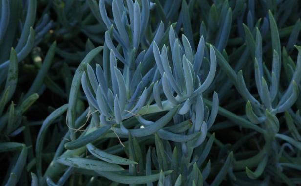 Name: Blue chalk sticks (Senecio mandraliscae) Zones: 10 to 11 Size: 1 to 2 feet tall and wide Conditions: Full sun