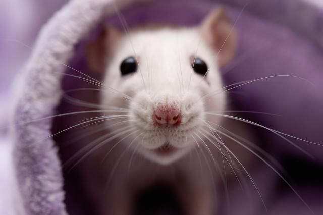 2015 Chinese Zodiac Signs Good Luck Tips: The Rat Zodiac Sign in 2015