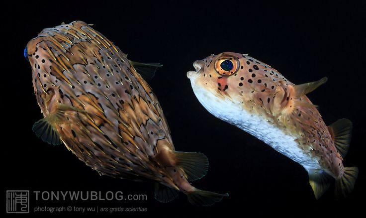longspine porcupinefish, Pez Globo. Acapulco, Guerrero