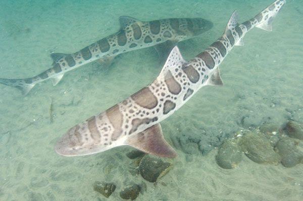 Leopard Shark   Leopard Shark Pictures - Triakis semifasciata Images