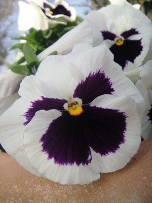 Bunga Pansy Putih