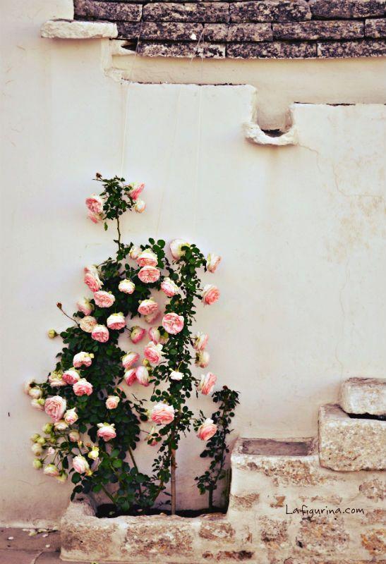 Rose inglesi, Alberobello, Puglia http://www.lafigurina.com/