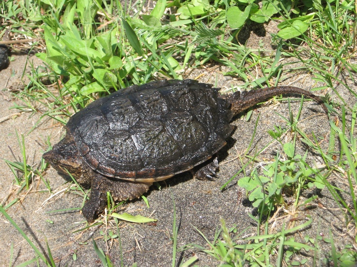 Some local wild life-baby snapping turtle.