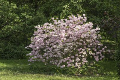 Rhododendrons For Zone 4 Gardens: Types Of Cold Hardy Rhododendrons - It used to be that gardeners in the north couldn't take advantage of rhododendron plants because they could be killed in the first hard freeze. Today, rhododendrons for zone 4 are not only possible but a reality and there are several from which to choose. Learn more here.