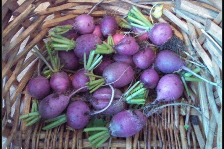Radish Seeds - PURPLE PLUM - Heirloom Vegetable- Easy to Grow - 100 Seeds #theseedhouse