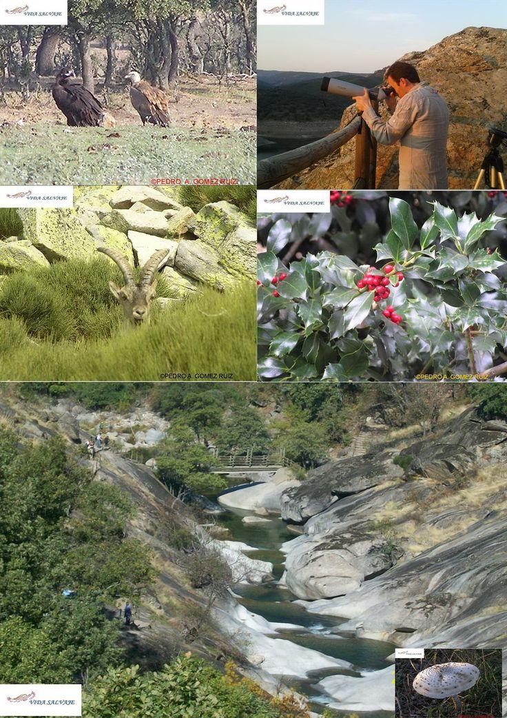 Avistamiento de Aves o #BIrdwatching, Senderismo, Visita a la Berrea, Interpretacion de la dehesa extremeña, recogida de setas etc... http://www.vidasalvaje.net/