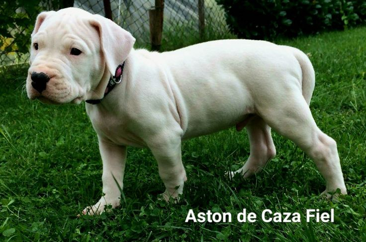 Dogo argentino male puppy for sale! Champion bloodline, champion sired, born 15.5.2016.