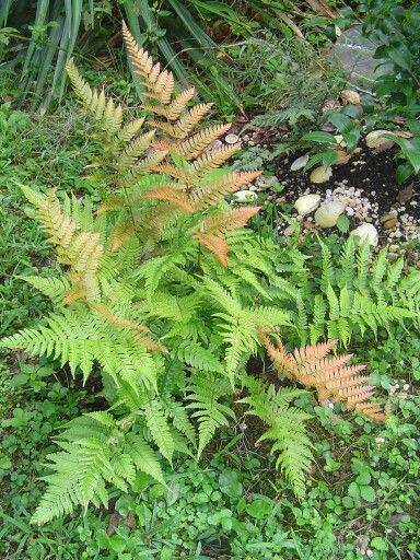 Best Autumn Autumn Fern Plants Garden 400 x 300