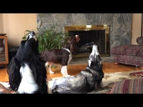 Annoyed Husky Howling : Video Clips From The Coolest One