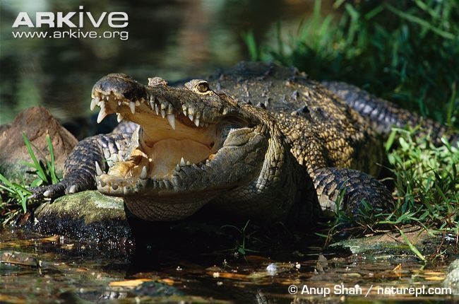 Belize crocodile videos, photos and facts - Crocodylus moreletii | ARKive