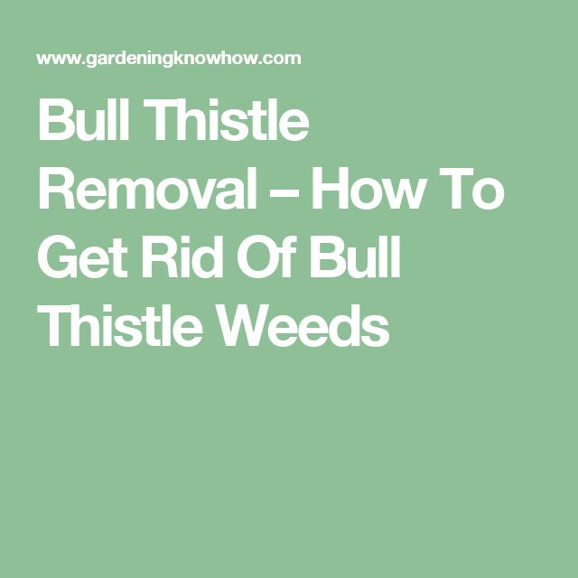 Bull Thistle Removal – How To Get Rid Of Bull Thistle Weeds