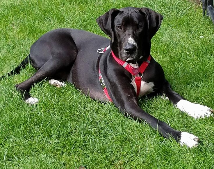 Great Dane dog for Adoption in Buffalo, NY. ADN-666966 on PuppyFinder.com Gender: Female. Age: Young