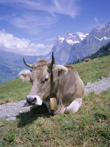Cow at Alpiglen, Grindelwald, Bernese Oberland, Swiss Alps - The first time I ever saw and heard Cows with bells - to prevent them getting lost.