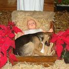 A stray German Shepherd Dog looking for a comfortable, protected place to sleep chose this nativity scene in a church yard where he spent the night. He was rescued by a church member.