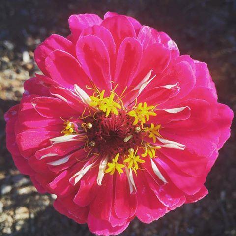 Zinnia California Giant From Our Butterfly Habitat Garden Maker.  #pottingshedcreations #zinnia #butterflygarden