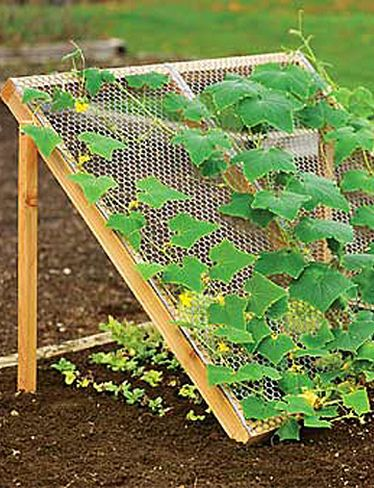 Cucumbers growing on a trellis because they love the sun. Lettuce, which likes it cooler, is plated below.