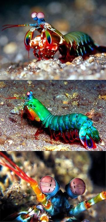 savvydew: This mantis shrimp can see more colors than you can think of.  One of Mother Natures amazing critters… So fascinating look at. :)