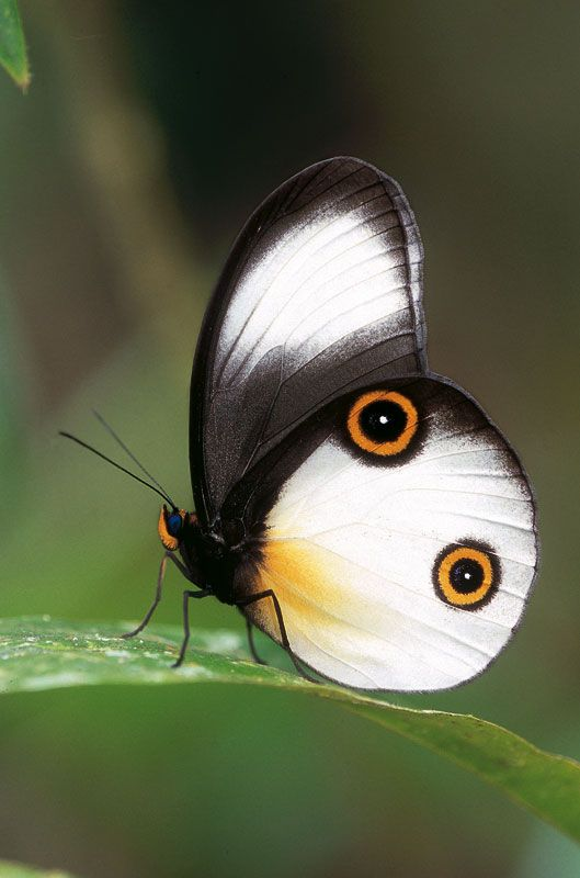 spectacularly beautiful rainforest butterfly