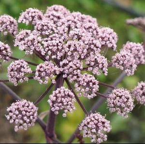 Angelica+sylvestris+'Vicar's+Mead':+Pink+Flowers.+Buy+online+from+www.PlantsToPlant.com