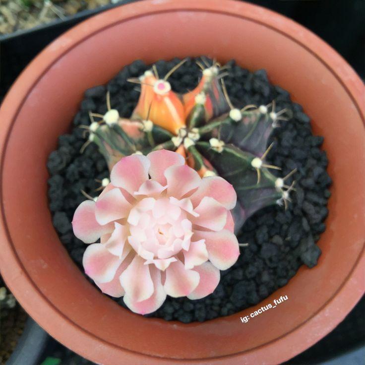 Gymnocalycium mihanovichii variegata