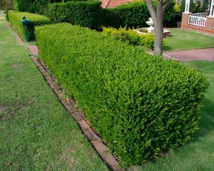 Buxus sempervirens: A dense, evergreen shrub that can grow to 6 metres plus but most commonly seen in gardens up to 2 metres and trimmed to topiary shapes or as a low hedge.  It is grown for its small, tight, glossy foliage and bushy habit making excellent edging, hedging or for featured topiary.  Very popular and extremely easy to grow and maintain they will adapt to most conditions wether sunny or shady, wet or dry.