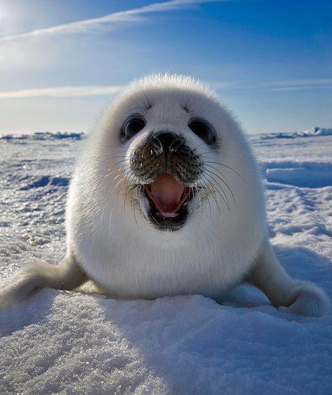 Awwww: So Cute, Harp Seals, Pet, Sea Lion, Happy Seals, Baby Animal, Smile, Adorable Animal, Baby Seals