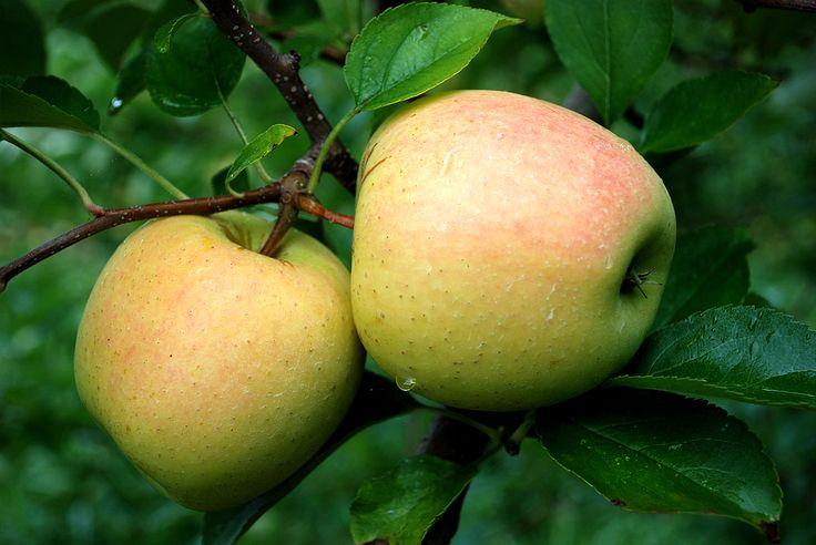 apple fruit   golden apple fruit   PicsDigger